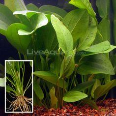 Oriental Sword (Echinodorus Oriental) Live Aquatic Aquarium Plant