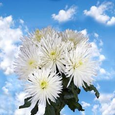 100 Fresh Cut White Fuji Spider Mums | Fresh Flowers Express Delivery | Perfect for Birthdays, Anniversary or any occasion. ** Check out the image by visiting the link.
