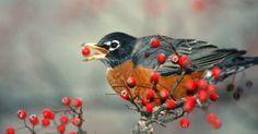 Robin Eating Berries...Create A Bird Friendly Yard!  www.FlowerChick.com