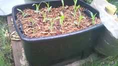 Growing corn in containers. (Didn't even think this was possible--very cool).