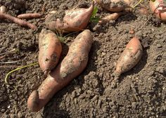 Plant organic sweet potato slips in the garden this spring and let the summer sun do its work. Just one example of a vegetable that's easy to grow organically. Read more about organic choices at The Home Depot's Garden Club.