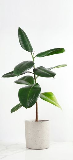 The Rubber Plant (Ficus Elastica) - The Jungle London Indoor Plants Green Plants, Potted Plants, Herb Plants, Indoor Succulents, Leafy Plants, Water Plants, Tropical Plants, Planet Decor, Plantas Indoor