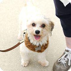 Detroit, MI - Maltese Mix. Meet Kenny a Dog for Adoption.