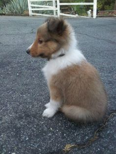 Cute Baby Dogs, Cute Baby Animals, Kittens And Puppies, Cute Puppies, Pet Dogs, Doggies, Sheep Dogs, Shetland Sheepdog Puppies, Cute Dog Pictures