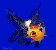 Oranda Goldfish | Panda Oranda Goldfish at AquariumFish.net, where you can shop online ...