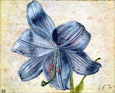 Studie einer Lilie von Albrecht Dürer Bridgeman Images Bildnr ...