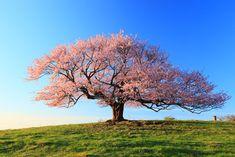 なんと!凛々しい1本桜の大木!!うっうっ惚れました♡/Kamegamori-Bokuya, Iwate-Pref.