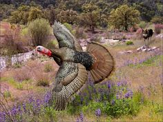 South Mexican wild turkey (M. g. gallopavo) - Google Search