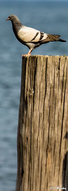 One from my book mark collection, a pigeon roosts in Cape Charles, VA on the Eastern Shore.