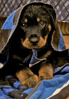 I can't be bad  #Rottweiler