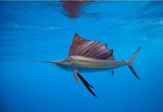 Billfish have killed humans who have them on a line with one of their mighty leaps in an effort to escape: the sword-like nose can pierce fishermen's bodies. When it comes to hunting, sailfish flare their fins to look larger than they are and work together as a team to push schools of fish together. Then they use their swords as bats, stunning and maiming the fish for an easy dinner.