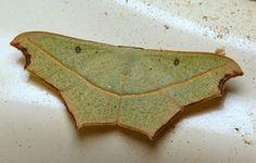 Class:Insecta Order:Lepidoptera Family:Geometridae Genus:Gnamptoloma Species:aventiaria Common Name:no common name (green)