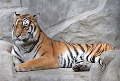 The Majestic Korean Tiger