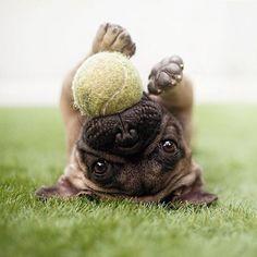 play ball Pinterest: @divinewanderer2. #pugs
