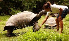 Begegnung mit einer Aldabra-Riesenschildkröte auf FREGATE ISLAND │ SEYCHELLEN. Die bisher älteste dieser Art wurde 256 Jahre alt!