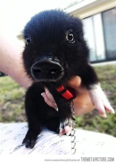 Baby pet piglet… and it's black! Want one, really, really want one.