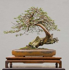 Bonsai… Rocky Mountain Juniper, Great all around, nebari, flowing trunk movement, branch angles & shari Bonsai Trees For Sale, Bonsai Tree Types, Bonsai Plants, Bonsai Garden, Ikebana, Bonsai Styles, Art Asiatique, Pot Plante, Miniature Trees