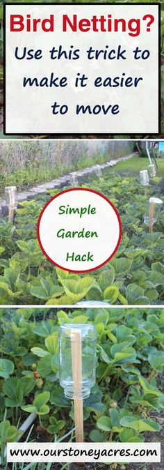 Here's a great gardening hack. Use this trick to make your bird netting glide off strawberry and raspberry plants!