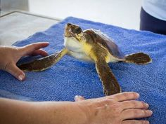 Piper the loggerhead sea turtle continues recuperating Brevard Zoo, Save Our Oceans, Green Algae, Carapace, Cocoa Beach, Turtle, Sea, Tortoise, Ocean