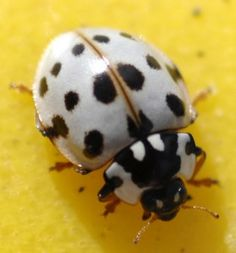 ashy_gray_lady_beetle_kevin