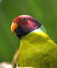 Plum-headed Parakeet, taken at Disney's Animal Kingdom
