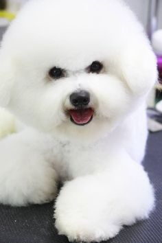 Fluffy Animals, Animals And Pets, Baby Animals, Cute Animals, Cute Puppies, Cute Dogs, Dogs And Puppies, Doggies, Lap Dogs