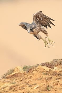 the most beautiful of them all  Peregrine Falcon