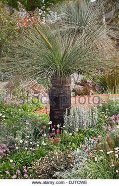 Trailfinders Australian Garden. Winner of Gold Medal and Best in Show, RHS Chelsea 2013. Xanthorrhoea sp. (Grass - Stock Image