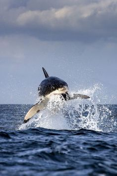 It looks like an Orca Whale to me...Great White Shark Breach - False Bay, South Africa | by Chris Mclennan