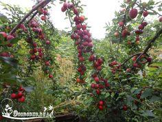 Удобрение косточковых.    Основные элементы питания, которых чаще не хватает растению,— азот, фосфор, калий, а иногда и кальций (известь). Эти элементы нужны ему в определенных соотношениях, недостаток одного не может быть заменен избытком другого. В почву нужно вносить в первую очередь удобрения, содержащие тот элемент, в котором растение больше всего нуждается.    Лучшее удобрение для вишни, сливы, черешни и других косточковых деревьев — перепревший навоз. Он содержит все необходимые…