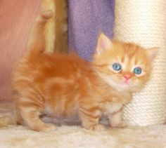Adorable Munchkin Kitten with such beautiful blue eyes