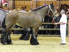 "Trait du Nord is sometimes considered as a heaviest type of Ardennes, but it's a breed of its own. Its studbook was opened 1903. However, it does have the same ancestors as Ardennes. Trait du Nord is a big, powerful draft, stallions may be up to 170 cm at withers. They're usually bay or bay roan, chestnuts, blacks and grays are also allowed even if they're very rare. Registered horses have a ""N"" brand on their neck."