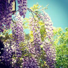 新緑が目に鮮やかな立夏のころ。 見頃をむかえる藤の花。 母が好きな花でした。 玄関を藤で飾るんだってよく言ってたなぁ。。 花言葉は、 優しさ 歓迎 決して離れない 恋に酔う (ㆁᴗㆁ✿) Language of flowers welcome,steadfast  201705 @舞鶴公園 藤園 #藤の花 #藤 #藤棚 #藤園 #福岡 #舞鶴公園 #はなまっぷ #wisteria #fuji #fukuoka #bestjapanpics #flowers #flowerslovers #flowerpower #pict_lovers #lovers_nippon  #ig_japan #wp_japan #team_jp_ #Instagramjapan #wp_flower #tv_flowers #igersjp #igers #flowerstagram #japanesegarden #flower_beauties_ #loves_garden #instaflower #instablooms…