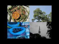 Medicinal Rice P5N Formulations for Sphenodesme Excess: Pankaj Oudhia's ...