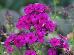 Hohe Flammenblume 'Raving Beauty' - Phlox paniculata 'Raving Beauty'