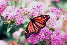 Conserving Monarch Butterflies and their Habitats Monarch Caterpillar, Natural Ecosystem, Gossamer Wings, Monarch Butterfly, Natural World, Beautiful Creatures, Conservation, Habitats, Planting Flowers