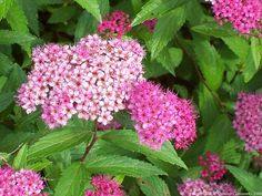 Learn how to care for spirea in this spirea care guide. Growing and planting spirea is rewarding as this perennial flowering shrub is low maintenance. Growing spirea in pot is also possible. Garden Web, Garden Shrubs, Flowering Shrubs, Garden Urns, Container Flowers, Container Plants, Container Gardening, Gardening Tips, Succulent Containers
