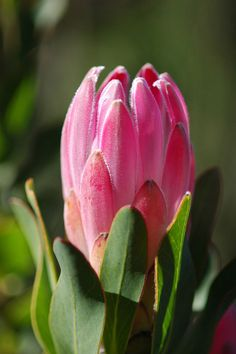 Protea compacta Protea Art, Exotic Flowers, Amazing Flowers, Beautiful Flowers, Art Floral, South African Flowers, Australian Native Flowers, Gift Bouquet, Palmiers