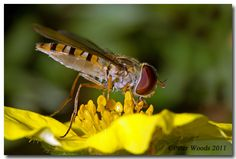 Hoverfly - Peter Woods LRPS