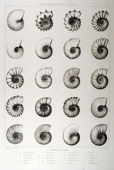Ammonites sea shells :: I used to have pages and pages of this in my textbooks.