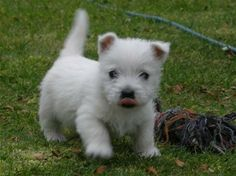 west highland terrier puppy, its official this is the dog i want.