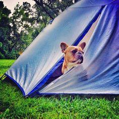 'Camping', French Bulldog