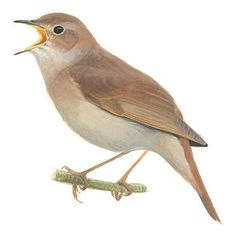 Nachtegaal   Vogelbescherming.nl