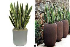 Cactus Plants, Garden Plants, House Plants, Indoor Garden, Indoor Plants, Sansevieria Trifasciata, Succulent Gardening, Concrete Planters, Ficus