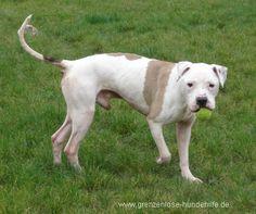 Capone #AmericanBulldog Mix, geb. 2007, Verträglichkeit unklar, medizinischer Leidensweg, wartet im #Tierheim in #Frankreich auf seine Ausreise nach Deutschland. Grenzenlose Hilfe für Tiere - sans frontieres