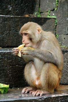 Monkey at Pashupatinath Temple