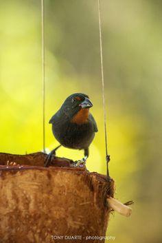 Oiseau - Sporophile mâle s'abreuvant dans une noix de coco - St-Barth - FWI - © Tony Duarte