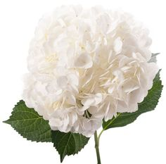 CALL TODAY TO RESERVE YOUR FLOWERS FOR  MOTHER'S DAY ORDERS ! PREMIUM WHITE  HYDRANGEA  35 STEMS PER BOX