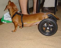This dachshunds owner built him his own wheelie chair to use while he was in rehab for an injured back. Poor baby. :(
