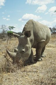 Rhinoceros populations from Asia through Africa are plummeting in the face of burgeoning illicit trade in their horns, much of it driven by myths promoted by criminal smuggling syndicates and targeting the new wealthy in China and Vietnam.